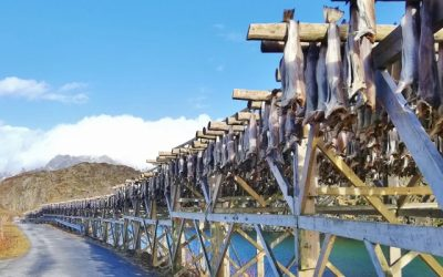 cod fish drying